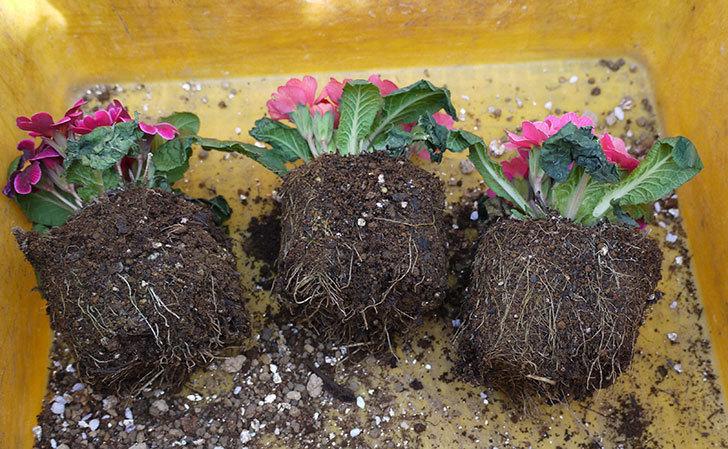 プリムラ・ジュリアン3個を1個ずつ鉢に植えた。2016年-1.jpg