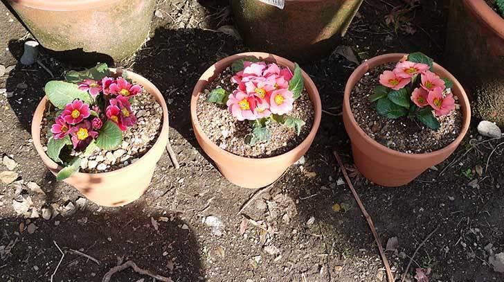 プリムラ・ジュリアン3個を1個ずつ鉢に植えた。2016年-3.jpg