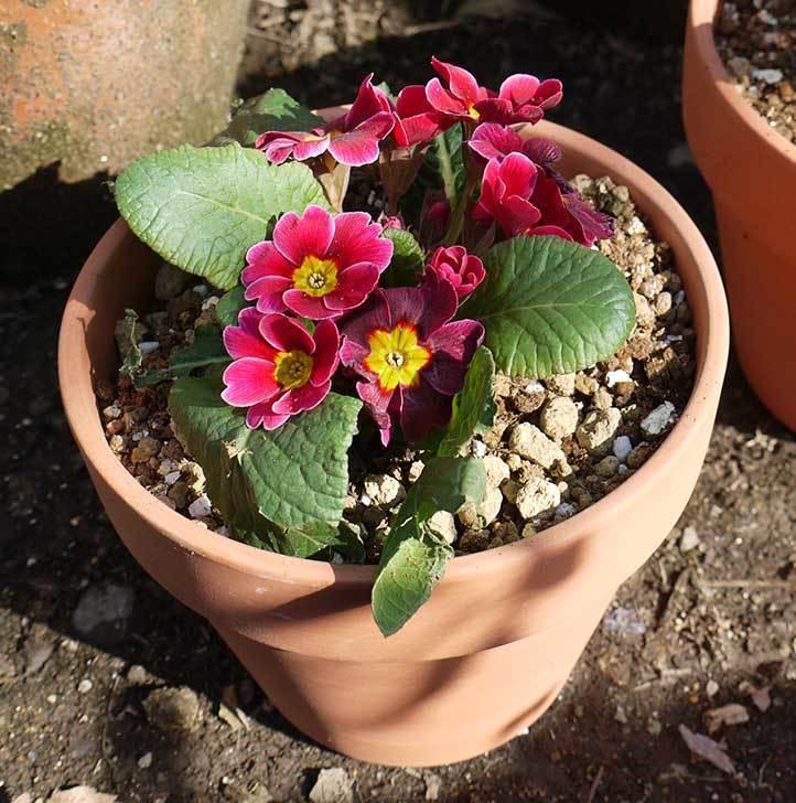 プリムラ・ジュリアン3個を1個ずつ鉢に植えた。2016年-4.jpg