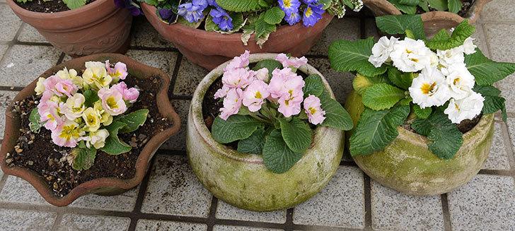 プリムラ・ジュリアンを鉢に植えた1.jpg