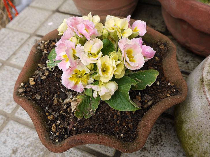 プリムラ・ジュリアンを鉢に植えた2.jpg