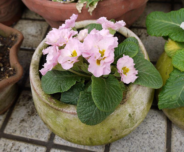 プリムラ・ジュリアンを鉢に植えた3.jpg