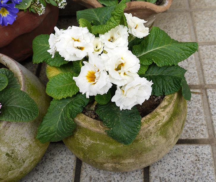プリムラ・ジュリアンを鉢に植えた4.jpg