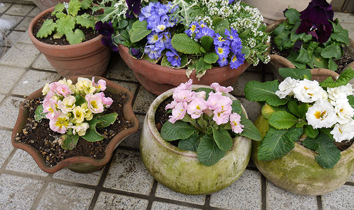 プリムラ・ジュリアンを鉢に植えた5.jpg