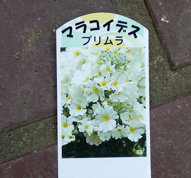 プリムラ・マラコイデスの白を3個買ってきた。2016年-3.jpg