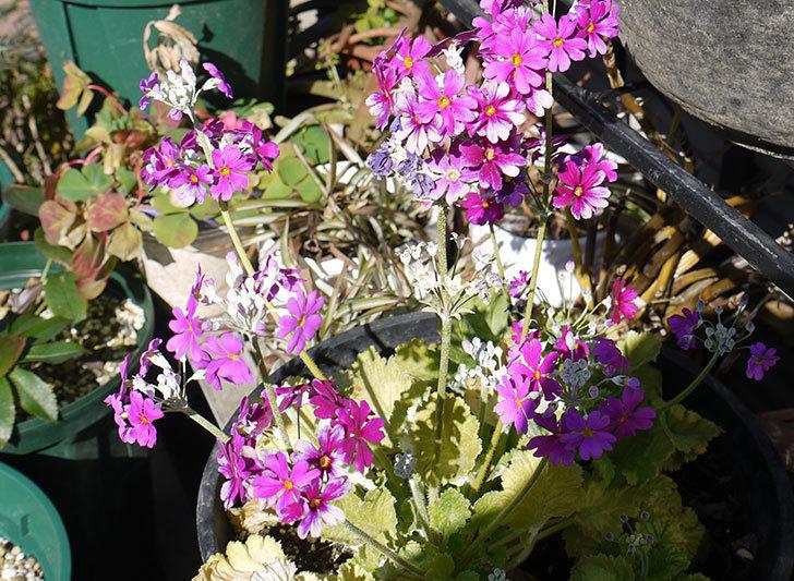 プリムラ・マラコイデスの花が更に増えてた。2016年-3.jpg