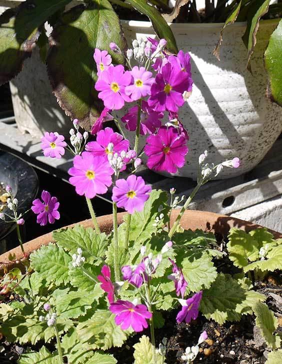 プリムラ・マラコイデス(乙女桜)が咲いた。2015年-4.jpg