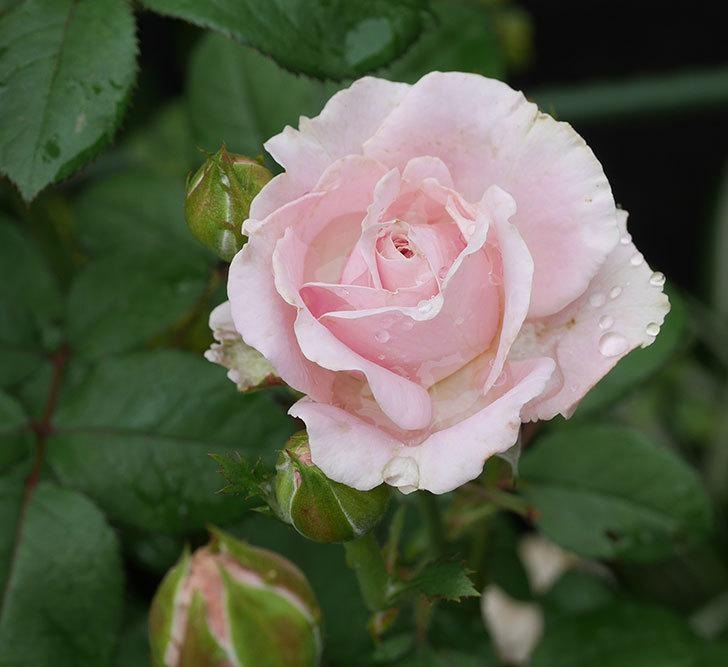 プリンセス-オブ-インフィニティ(ミニバラ)の2番花が咲いた。2019年-1.jpg