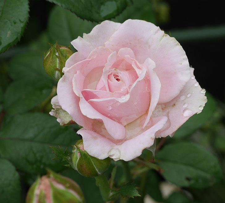 プリンセス-オブ-インフィニティ(ミニバラ)の2番花が咲いた。2019年-2.jpg