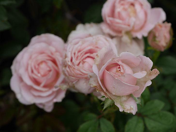 プリンセス-オブ-インフィニティ(ミニバラ)の2番花が咲いた。2019年-3.jpg