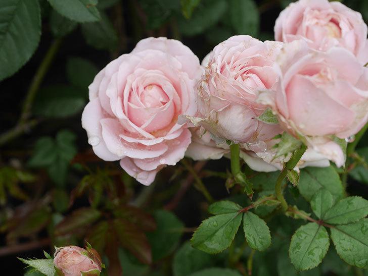 プリンセス-オブ-インフィニティ(ミニバラ)の2番花が咲いた。2019年-4.jpg
