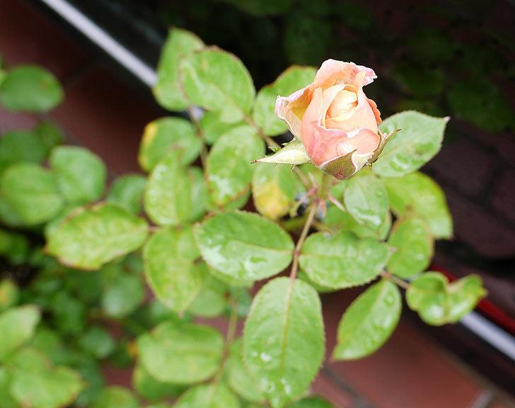 プリンセス-オブ-インフィニティ(ミニバラ)の2番花が咲き出した。2016年-2.jpg