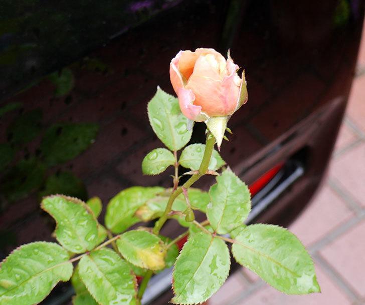 プリンセス-オブ-インフィニティ(ミニバラ)の2番花が咲き出した。2016年-4.jpg