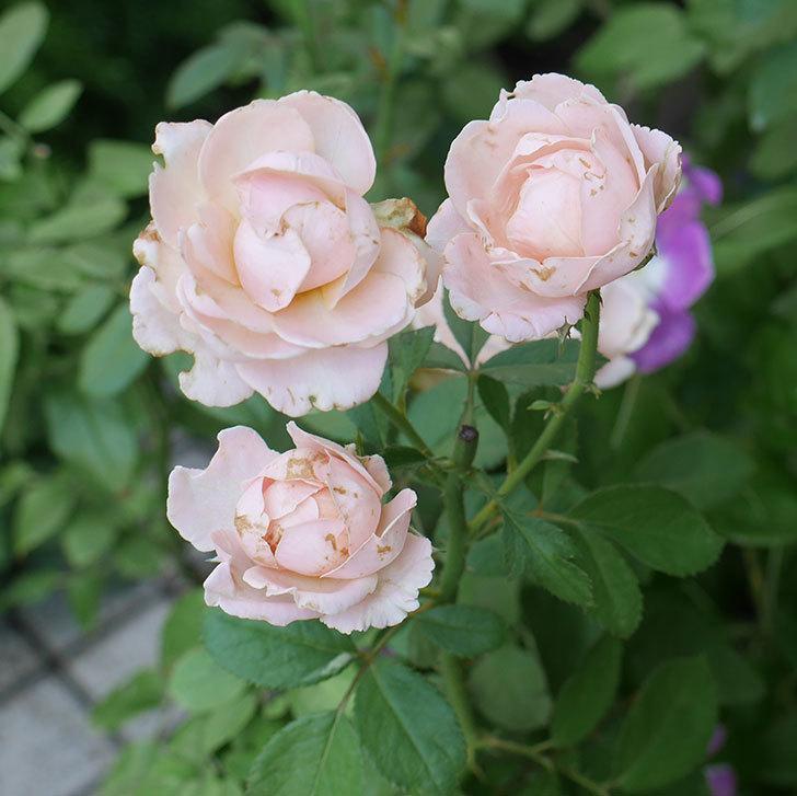 プリンセス-オブ-インフィニティ(ミニバラ)の夏花が咲いた。2018年-1.jpg
