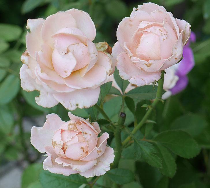 プリンセス-オブ-インフィニティ(ミニバラ)の夏花が咲いた。2018年-2.jpg
