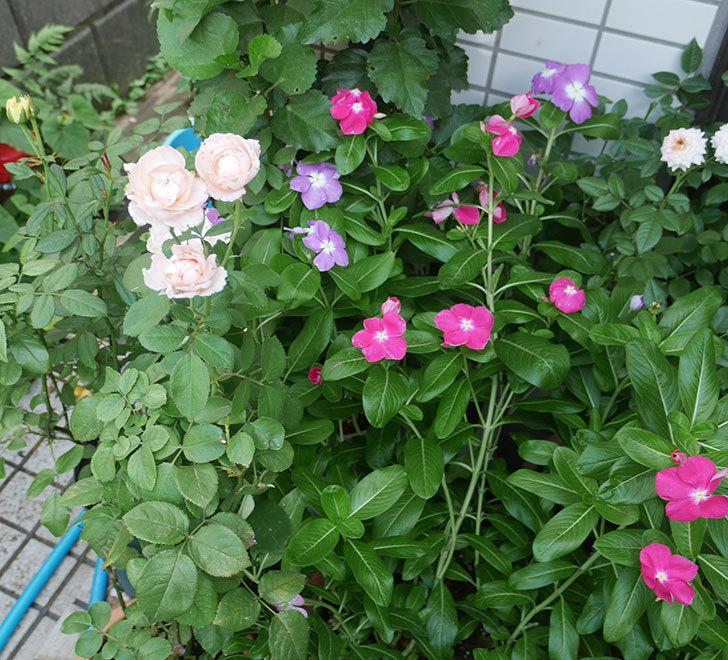 プリンセス-オブ-インフィニティ(ミニバラ)の夏花が咲いた。2018年-3.jpg