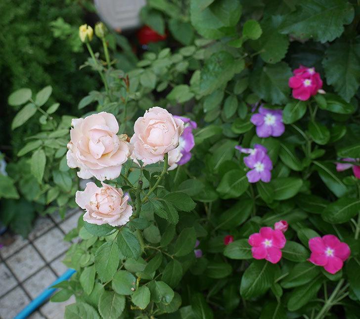 プリンセス-オブ-インフィニティ(ミニバラ)の夏花が咲いた。2018年-4.jpg