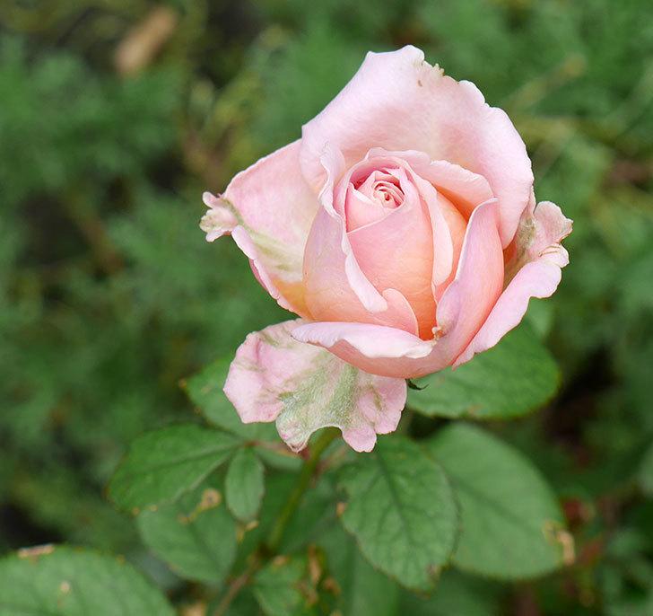 プリンセス-オブ-インフィニティ(ミニバラ)の秋花がまた咲いた。2017年-1.jpg