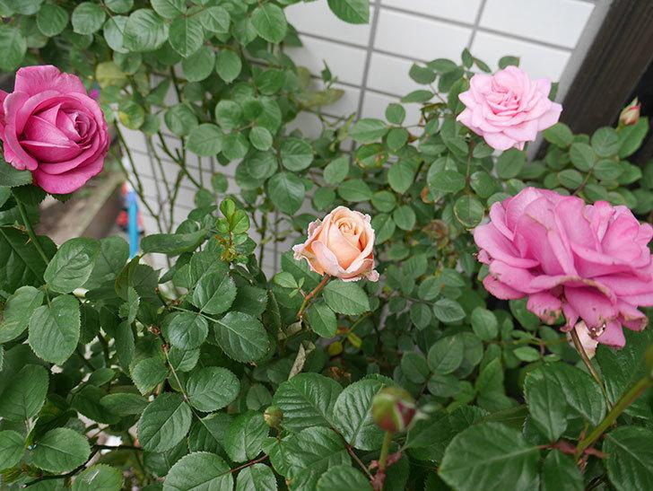 プリンセス-オブ-インフィニティ(ミニバラ)の秋花がまた咲いた。2017年-4.jpg