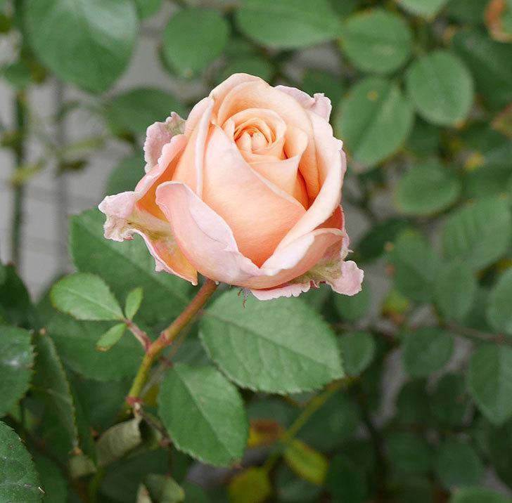 プリンセス-オブ-インフィニティ(ミニバラ)の秋花がまた咲いた。2017年-5.jpg