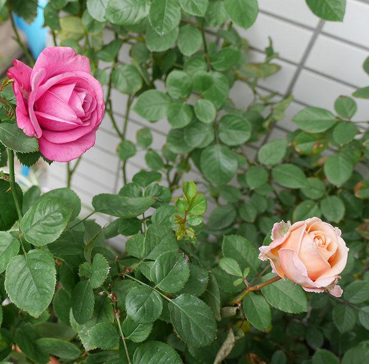 プリンセス-オブ-インフィニティ(ミニバラ)の秋花がまた咲いた。2017年-7.jpg