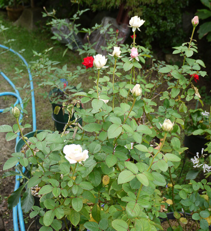 プリンセス-オブ-インフィニティ(ミニバラ)の秋花がまた咲きだした。2016年-1.jpg