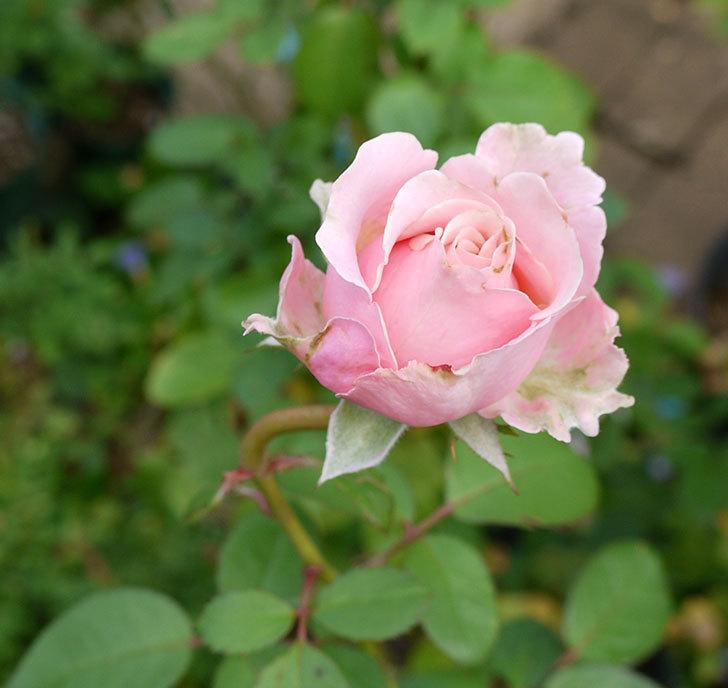 プリンセス-オブ-インフィニティ(ミニバラ)の秋花がまた咲きだした。2016年-2.jpg