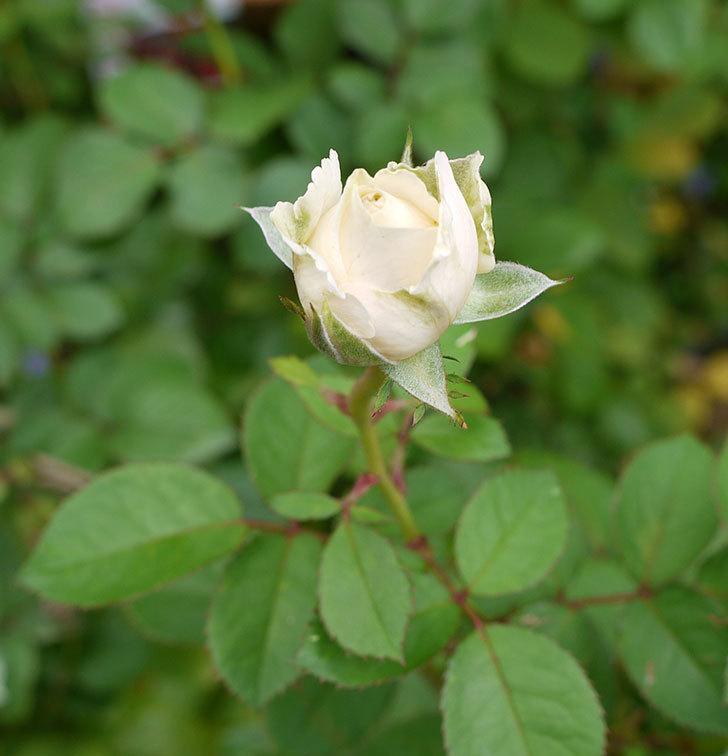 プリンセス-オブ-インフィニティ(ミニバラ)の秋花がまた咲きだした。2016年-3.jpg