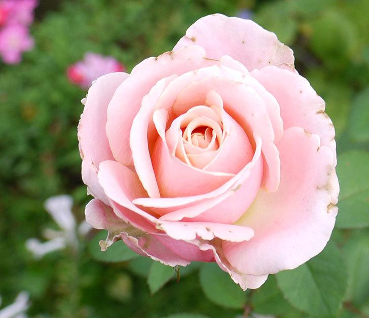 プリンセス-オブ-インフィニティ(ミニバラ)の秋花がまた咲きだした。2016年-4.jpg