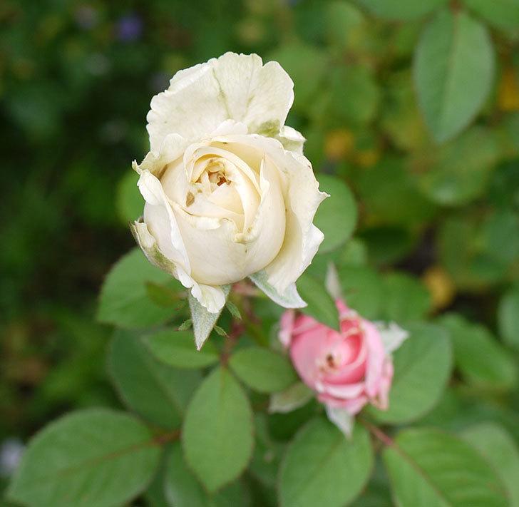 プリンセス-オブ-インフィニティ(ミニバラ)の秋花がまた咲きだした。2016年-6.jpg