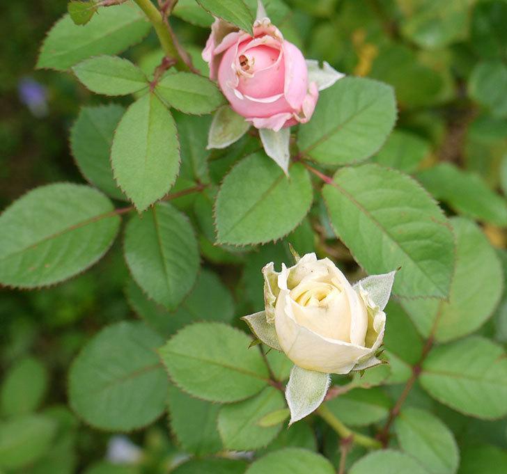 プリンセス-オブ-インフィニティ(ミニバラ)の秋花がまた咲きだした。2016年-7.jpg