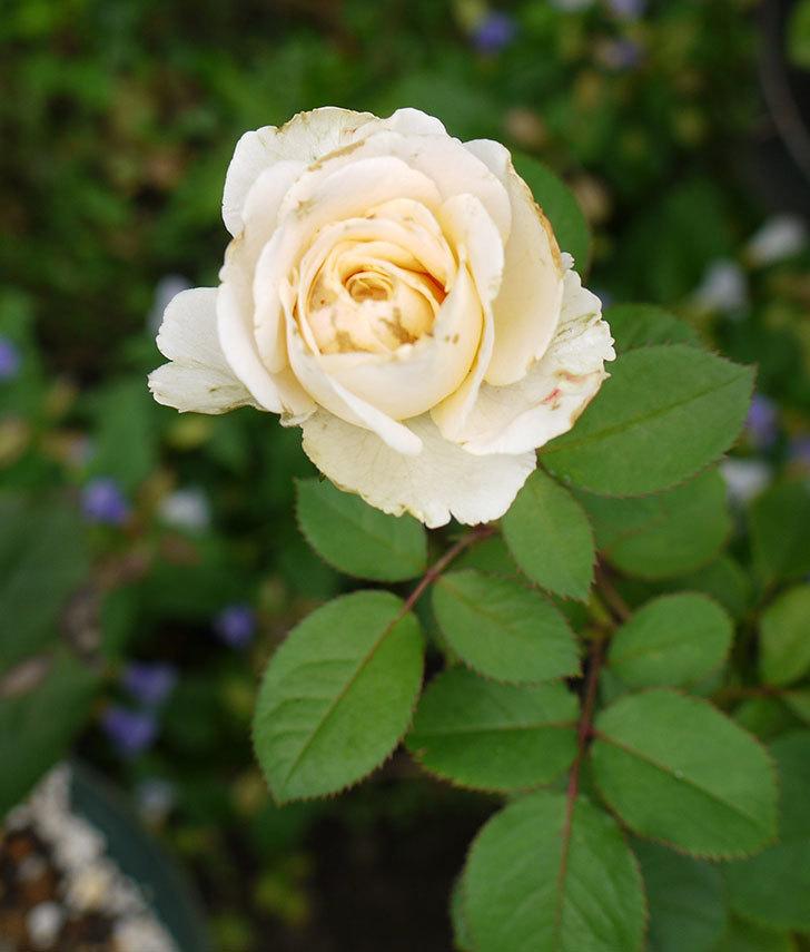 プリンセス-オブ-インフィニティ(ミニバラ)の秋花がまた咲きだした。2016年-8.jpg