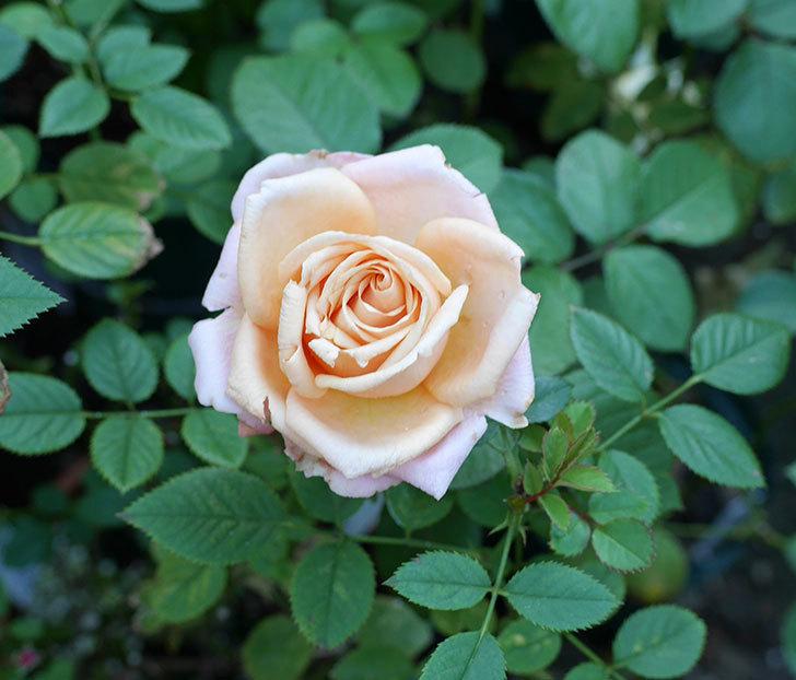 プリンセス-オブ-インフィニティ(ミニバラ)の秋花が咲いた。2017年-1.jpg