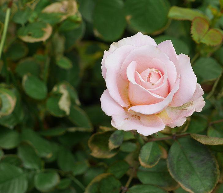 プリンセス-オブ-インフィニティ(ミニバラ)の秋花が咲いた。2018年-1.jpg