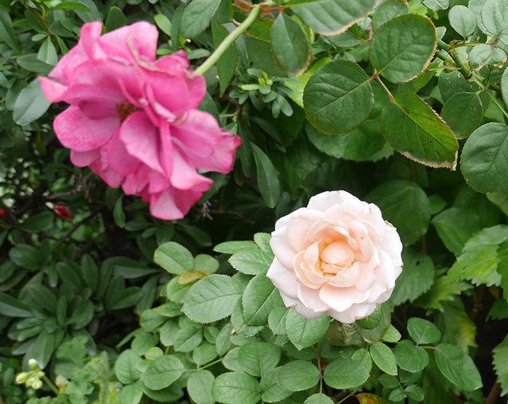 プリンセス-オブ-インフィニティ(ミニバラ)の秋花が咲いた。2018年-5.jpg