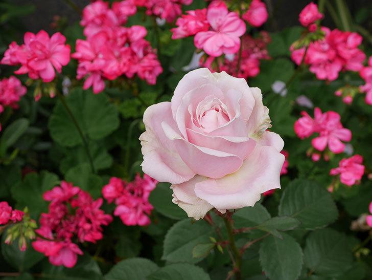 プリンセス-オブ-インフィニティ(ミニバラ)の花が咲いた。2019年-1.jpg