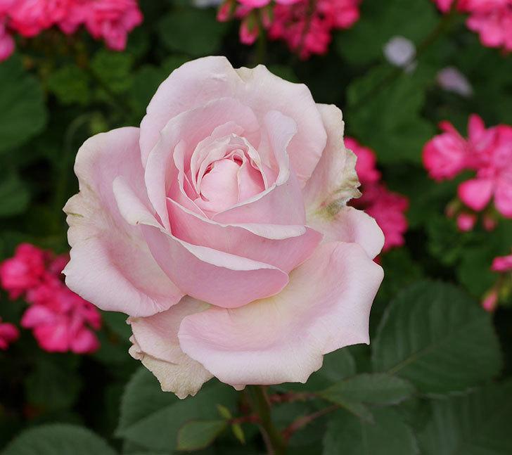 プリンセス-オブ-インフィニティ(ミニバラ)の花が咲いた。2019年-2.jpg
