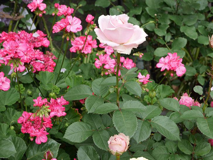 プリンセス-オブ-インフィニティ(ミニバラ)の花が咲いた。2019年-3.jpg