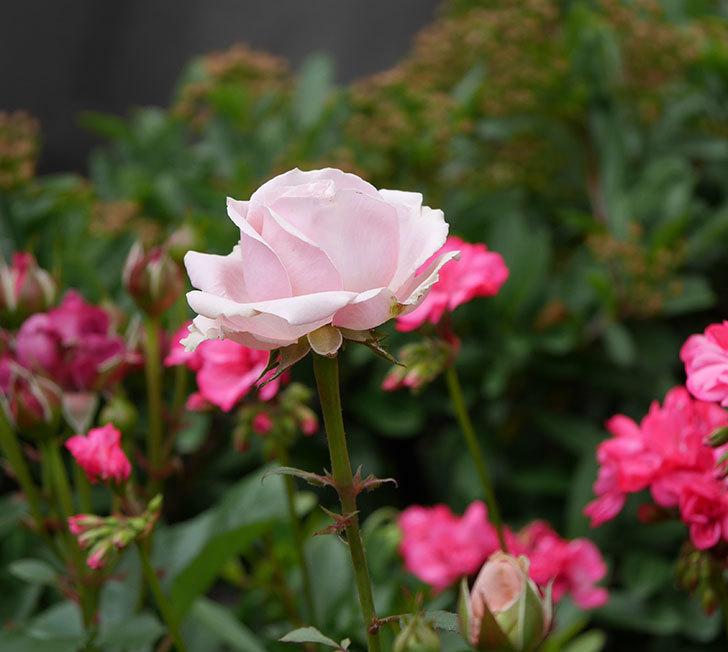 プリンセス-オブ-インフィニティ(ミニバラ)の花が咲いた。2019年-4.jpg