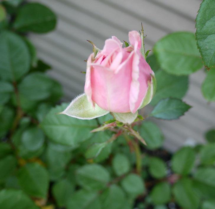 プリンセス-オブ-インフィニティ(ミニバラ)の花が咲きだした。2017年-2.jpg