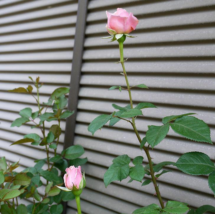 プリンセス-オブ-インフィニティ(ミニバラ)の花が咲きだした。2017年-3.jpg