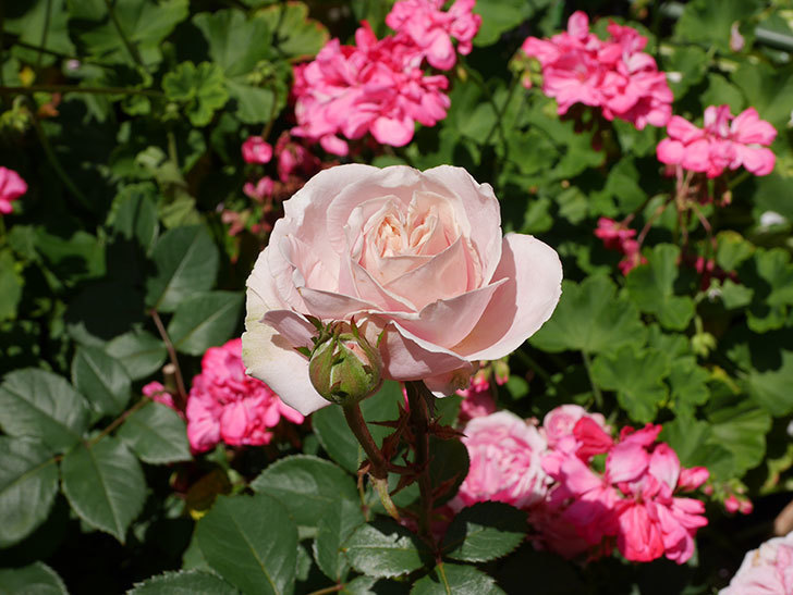 プリンセス-オブ-インフィニティ(ミニバラ)の花が増えて来た。2019年-1.jpg