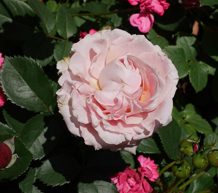 プリンセス-オブ-インフィニティ(ミニバラ)の花が増えて来た。2019年-2.jpg