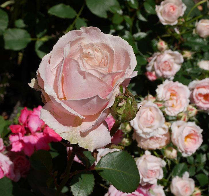 プリンセス-オブ-インフィニティ(ミニバラ)の花が増えて来た。2019年-3.jpg