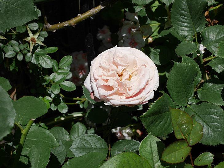 プリンセス-オブ-インフィニティ(ミニバラ)の花が増えて来た。2019年-4.jpg