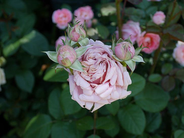 プリンセス-オブ-インフィニティ(ミニバラ)の花が増えて来た。2019年-5.jpg