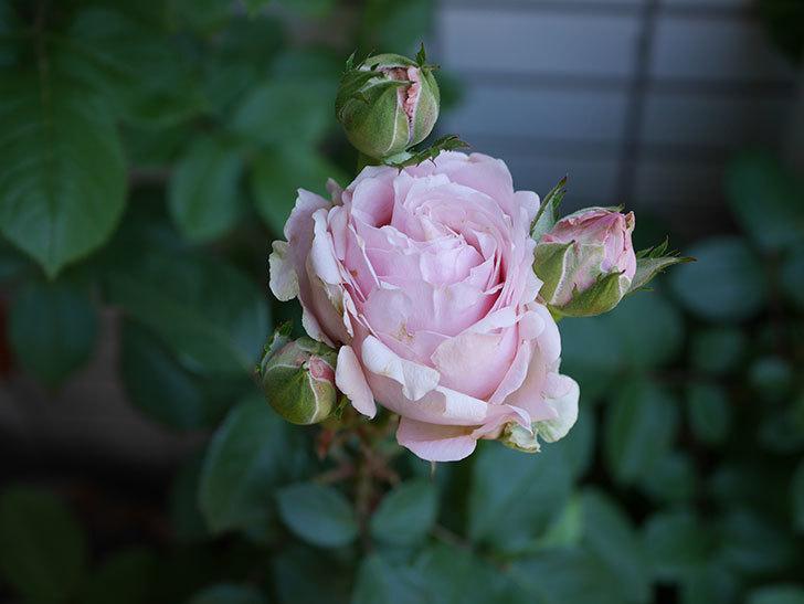 プリンセス-オブ-インフィニティ(ミニバラ)の花が増えて来た。2019年-6.jpg