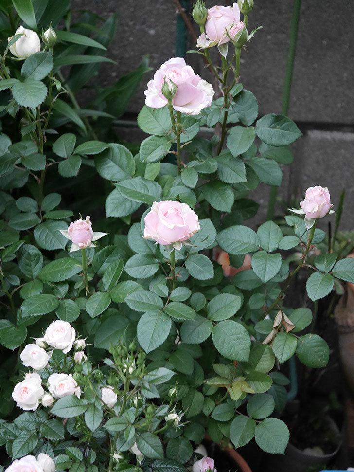 プリンセス オブ インフィニティ(ミニバラ)の花が咲いた。2020年-001.jpg