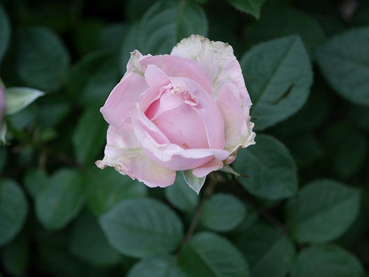 プリンセス オブ インフィニティ(ミニバラ)の花が咲いた。2020年-003.jpg