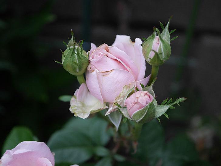 プリンセス オブ インフィニティ(ミニバラ)の花が咲いた。2020年-004.jpg